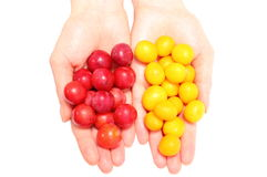 Red and yellow mirabelle in hand of woman. White background Stock Photos