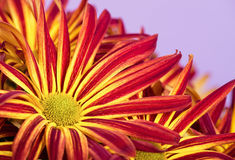 Red yellow Mums or Chrysanthemums closeup Royalty Free Stock Photography