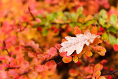 Red and yellow oak tree leaves falling down on earth in autumn. Outdoor photo without filters. Wonderfull background Royalty Free Stock Photo