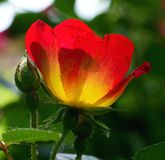 Red and yellow old style rose Royalty Free Stock Images