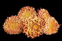 Red-yellow orange chrysanthemums. Royalty Free Stock Photo