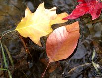 Autum Leaves floating in water. Red, yellow, orange colored leaves floating in water royalty free stock images