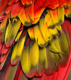 Red, Yellow, Orange Feathers. Macro photograph of the red, orange, and yellow feathers of a macaw Stock Photography