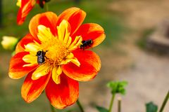 red yellow and orange flower with bees royalty free stock photography