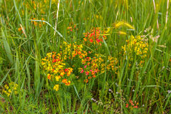 Red, yellow and orange flowers on green weeds Stock Photos