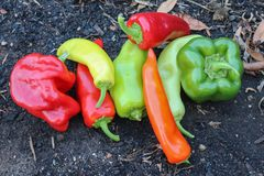 Red, yellow, orange and green capsicums on a garden bed stock photography