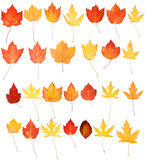 Red Yellow Orange Maple Oak Autumn Leaves Isolated Royalty Free Stock Image