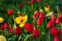 Red, yellow,orange and pink tulips bloom in the sunny morning in the spring season. stock photography