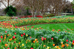 Red, Yellow and orange tulips and daffodils in manicured garden Royalty Free Stock Image