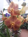 Bloomed beautiful flame color orchids stock image