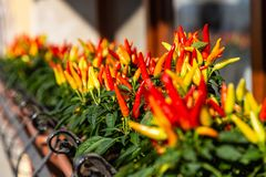 Red and yellow ornamental peppers grow in the sun in Venice, Italy stock photography