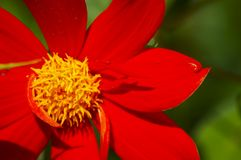 Red & yellow over green. A colorful flower at he bothanichal garden in Funchal, Madeira (Portugal Stock Photo