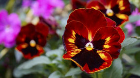 Red and yellow pansy blooms Royalty Free Stock Photo