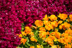 Red And Yellow Pansy Flowers Stock Photo
