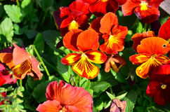 Red and Yellow Pansy Stock Photo
