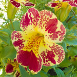 Red yellow pansy Viola tricolor blossom flowering Stock Image