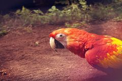 Red Yellow Parrot Royalty Free Stock Photos