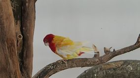 Red and yellow parrot on a branch stock video