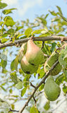 Red, yellow pear fruits in the tree, tree and shrub species of genus Pyrus, family Rosaceae Royalty Free Stock Photos
