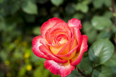 Free Red Yellow Peony Stock Image - 40079081