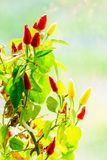 Red and yellow peppers grow. Red and yellow chili peppers grow. small plant on blurry background royalty free stock image