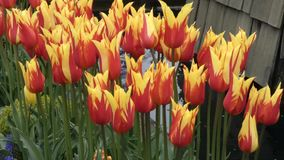 Red and yellow petals of tulips in full bloom stock footage