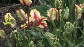 Red and yellow petals of tulips in full bloom stock video footage