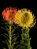 Red Yellow Pincushion Proteas Black Backgro. Red and Yellow Pincushion Proteas on Black Background. Both in focus. Yellow pincushion in front. Leaves and stem Royalty Free Stock Photography