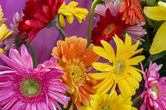 Red yellow pink gerbera Royalty Free Stock Photography