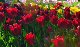 Red, yellow and pink tulips in the park with sunset sunlight Stock Photos