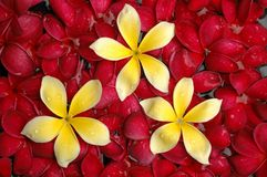 Red and yellow plumeria in the pool Stock Image