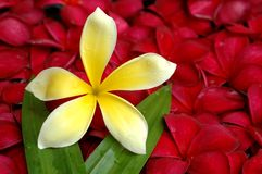 Red and yellow plumeria in the pool Royalty Free Stock Image