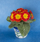 Red and yellow Polyanthus in pot Stock Photos