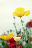 Red and yellow poppies Stock Images