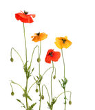 Red and yellow poppies Stock Image