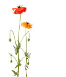 Red and yellow poppies Royalty Free Stock Photography