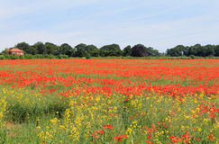 Red and yellow poppy fields Stock Photos