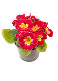 Red yellow Primrose potted plant royalty free stock images