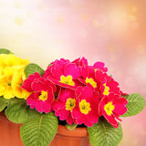 Red and yellow primroses. In pots Stock Photo