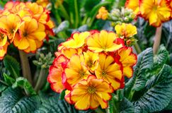 Red and yellow primroses background Royalty Free Stock Images