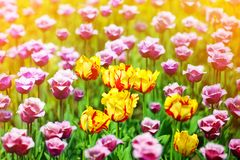 Red, yellow and purple tulips flowers on sunny blurred background close up, summer blooming tulips field, colorful spring flowers stock photography
