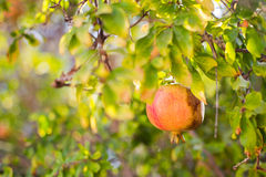 Red and yellow ripe pomegranate on tree branch Stock Photo