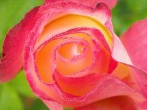 Red yellow rose Stock Photos