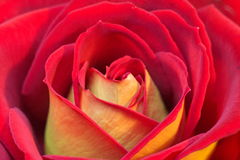 Red and yellow rose Royalty Free Stock Photos