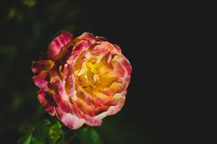 Red and yellow rose with black background royalty free stock photography