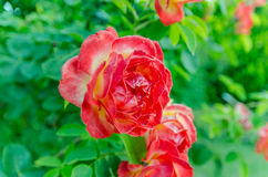 Red and yellow rose Royalty Free Stock Photography