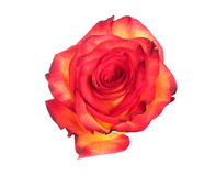Red and yellow rose Stock Photography