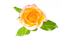 Red yellow rose over white Stock Photos