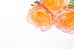 Red yellow rose over white Royalty Free Stock Photos