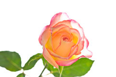Red yellow rose over white stock photo